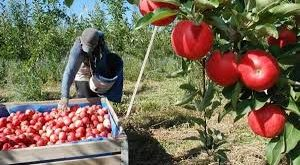 Fruit Packing Jobs in Canada for Pakistanis