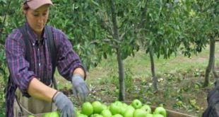 Apple pickers required in Canada
